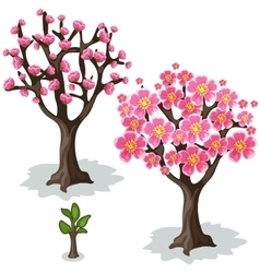 Stages of growth and flowering cherries tree vector