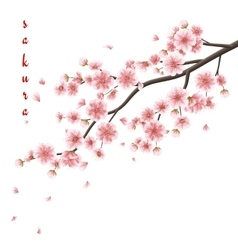 Pink sakura flowers isolated on white EPS 10 vector image vector image