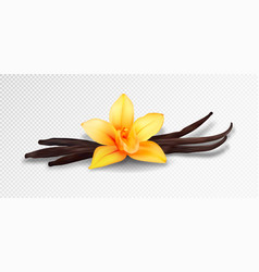 Realistic vanilla flower and pods isolated vector
