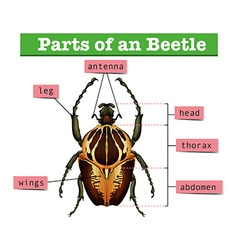 Diagram showing different parts of beetle vector image