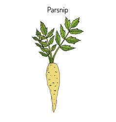 parsnip root vegetable vector image