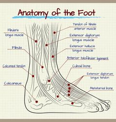 structure of the human foot vector image vector image