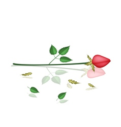 A lovely red roses laying on white background vector