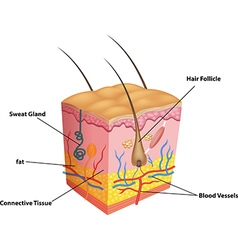 Cartoon of the layers of skin and pores anato vector