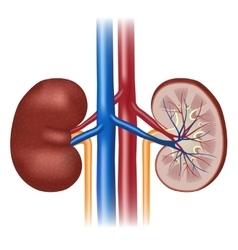 Human kidney anatomy vector image