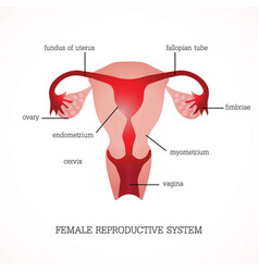 structure and function of human female vector image