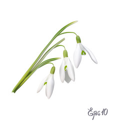 the first snowdrops galanthus vector image
