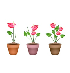 Anthurium Flowers or Flamingo Lily in Ceramic Pots vector image