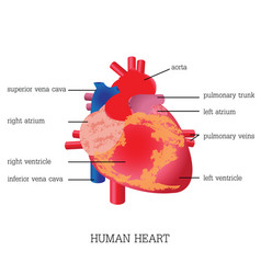 structure and function of human heart system vector image vector image