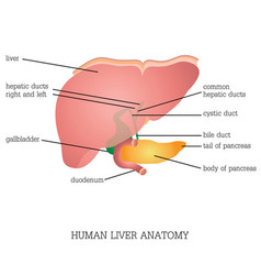 structure and function of human liver anatomy vector image