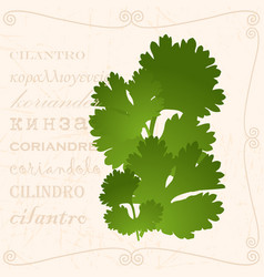 Sprig of cilantro in vintage style vector