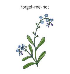 forget-me-not myosotis arvensis vector image vector image