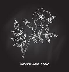 Cinnamon rose medicinal plant vector