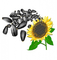 Sunflower and seeds vector