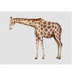 Wild giraffe on transparent background vector