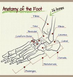 structure of the human foot - bone vector image vector image
