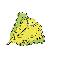 fresh lettuce natural vegetable nutrition vector image vector image