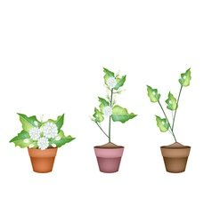Three jasmine flower in ceramic flower pots vector