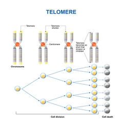 Telomere vector