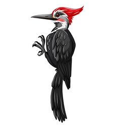 Black woodpecker on white background vector