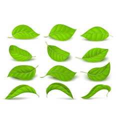 Realistic green tea leaves with water drops vector