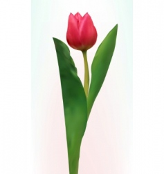 Tulip flower isolated vector