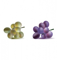 Two grape bunches isolated vector