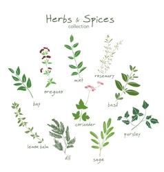 Herbs and spices hand drawn set vector image