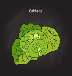 Cabbage - garden plant vector
