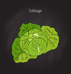 Cabbage - garden plant vector