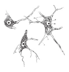 Neuron of spinal cord vintage vector