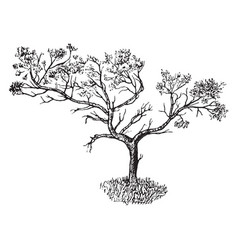 Juniper in barren soil form vintage vector