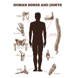 Medical poster of human bones joints vector