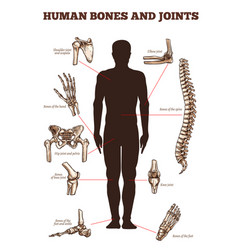 Medical poster of human bones joints vector