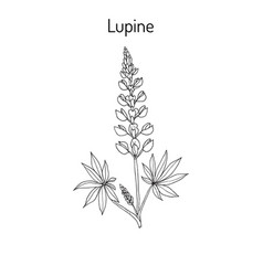 Lupine lupinus perennis vector
