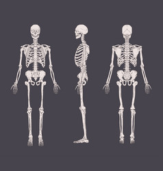 Set of realistic skeletons isolated on gray vector