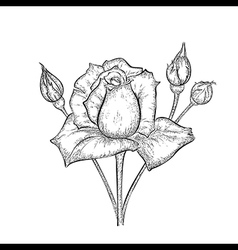 Hand drawn rose with buds vector