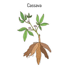 Cassava manihot esculenta or brazilian arrowroot vector