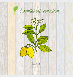Pure essential oil collection lemon vector