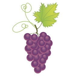 purple grapes vector image vector image