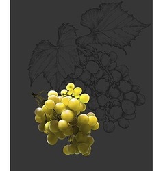 Wine and grapevine vector