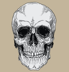Realistic cross hatched inked human skull vector