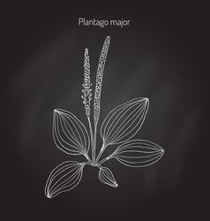 great plantain plantago major - medicinal plant vector image