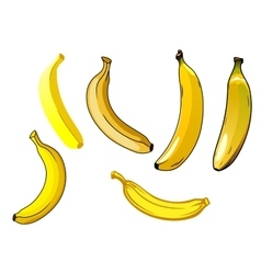Fresh ripe yellow banana fruits vector