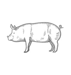 pig vintage engraved isolated vector image vector image
