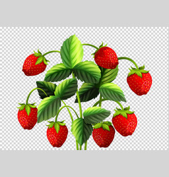 fresh strawberry bush on transparent background vector image