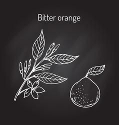 Bitter orange branch vector