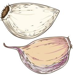 Garlic cloves vector