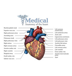 anatomical human heart hand drawn poster with vector image vector image