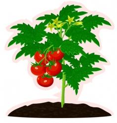 vigorous tomato vector image